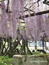Wisteria finally in full bloom in Kurogi (May 2011)