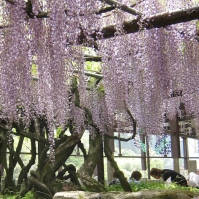 Wisteria finally in full bloom in Kurogi (May 2011)