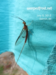 I thought this was a damselfly, but fellow Michiganders informed me that it was a fish fly. Thanks to all who helped me identify this insect!