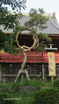 "Tsuki no Matsu, the ""Moon Pine"" in Ueno Park. I don't know if this is the same tree ukiyo-e artist Utagawa Hiroshige depicted in his ""One Hundred Famous Views of Edo"" prints, or if it's that the nearby temple has been grooming different pines into this shape for hundreds of years. (May 2016)"