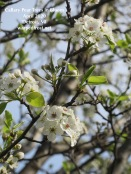 A thin branch of a Callary pear tear with two bunches of flowers in full bloom.
